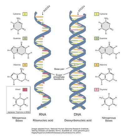dna vs rna In part 1 of this question set, you identified the nucleic acid bases in the figure  below which are not included among the standard five bases found in dna or.